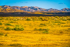 California Spring Wildflowers Superbloom Carrizo Plains National Monument! God Spilled the Paint Desert Wildflowers Super Bloom! Temblor Range! Elliot McGucken Fine Art Landscape & Nature Photography! Spring Flowers Superbloom! (45SURF Hero's Odyssey Mythology Landscapes & Godde) Tags: sony a7rii fe 24240mm f3563 oss lens sel24240 california spring wildflowers superbloom carrizo plains national monument god spilled paint desert super bloom temblor range elliot mcgucken fine art landscape nature photography wildflower