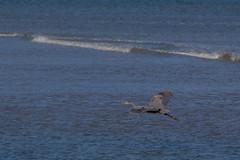 IMG_2486 (armadil) Tags: mavericks beach beaches bird birds flying californiabeaches heron greatblueheron blueheron