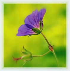 Vergnügen! - Wo ist das? (SpitMcGee) Tags: blume flower sonntag sunday storchschnabel geranie blüte blossum verblüht faded macro rahelvarnhagenvonense deutscheschriftstellerin spitmcgee