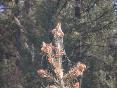 2009. Douglas-fir tussock moth webbing and defoliation. Douglas-fir tussock moth mating disruption pheromone study, Washington. (USDA Forest Service) Tags: usda usfs forestservice stateandprivateforestry foresthealthprotection washingtonstatedepartmentofnaturalresources wdnr douglasfirtussockmoth dftm matingdisruption 2009 study pheromone aerialapplication defoliation defoliator forestinsect foresthealth region6 r6 washington flakes forestentomology michaeljohnson webbing