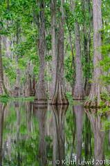 Reflecting trees (keithhull) Tags: swamp reflection lake martin lakemartin breauxbridge louisiana unitedstates 2014