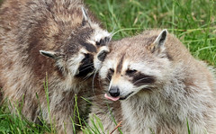 Raccoon Blijdorp JN6A8983 (j.a.kok) Tags: raccoon wasbeer animal blijdorp predator amerika america mammal zoogdier dier
