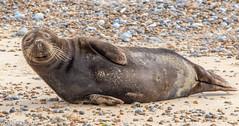 Grey Seal (Danny Gibson) Tags: seal seals mammal aquaticmammal mammals blakeneypoint commonseal common dgpixorguk canon7dmk2 canon7d 70300mmf56l sigma150600mmhsmosdg