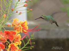 Canivet's Emerald - San Juan del Sur, Nicaragua (Michael W Klotz - The Bird Blogger.com) Tags: nicaragua birding bird blogger sanjuandelsur canivets emerald rivas flower green hummingbird flamboyant nain caesalpiniapulcherrima chlorostilboncanivetii orange red hover