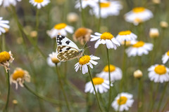 butterfly love (Paul Wrights Reserved) Tags: butterfly butterflies insect insects flower flowers daisy colour colours botanical bokeh beautiful nature naturephotography wildlife wildanimal