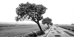Street with wind blown trees, (Traveller_40) Tags: asphalt autos blätter blown broken bw cars darss dof feld field fischland landmark landscape leafs mecklenburgwesternpomerania nature outdoor outdoors repair road scenic sigmaart50mm sky strase street traffic travel tree trees trip weather wnd zingst bodden mecklenburgvorpommern biancoenero blackwhite blackandwhite blancoynegro monochrome monocromático nb noirblanc noiretblanc pretoebranco 单色 白黒 flickenteppich flickenteppichstrasse