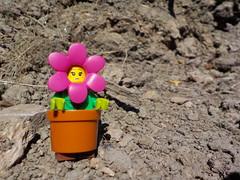 Help! I need water! (Lego Custom Zone) Tags: lego minifigure minifigs toy toys flower pot dry soil wasteland summer sun hot rock rocks dead