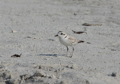 Plover on the beach (Carol Matthai Photography) Tags: fortmyers wildlife sandpiper stiltedsandpiper shells beach sand osprey ospreywithfish plover greatwhiteegret water nikon nature birds