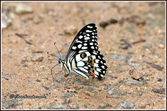 7963 -lime butterfly (chandrasekaran a 50 lakhs views Thanks to all.) Tags: limebutterfly butterfly insects india tamilnadu kallar mettupalayam canoneos80d tamronsp150600mmg2