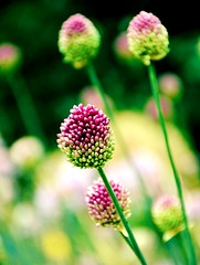 See you in Dreamland (barbara_donders) Tags: natuur nature lente spring flowers bloemen veld field grass gras green groen purple bokeh macro magical beautiful mooi prachtig bollen spheres