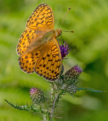 JWL6813  Dark Green Fritillary... (jefflack Wildlife&Nature) Tags: darkgreenfritillary fritillary fritilliaries butterflies butterfly lepidoptera insects insect wildlife wetlands woodlands heathland hedgerows heaths moorland marshland meadows countryside copse glades wildlifephotography jefflackphotography nature