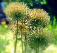 Allium en fin de vie (mamietherese1) Tags: world100f mmelle