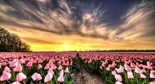 Tulips on the run.