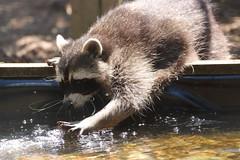 Splish splash, having a wash (charliejb) Tags: screechowlsanctuary wowl 2018 raccoon mammal fur furry furred water wash splash paws