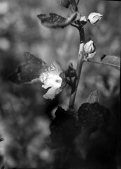 hollyhock (salparadise666) Tags: kw patent etui 9x12 tessar 135mm proxar 2 attachment lens fomapan 200160 caffenol cl 35min nils volkmer nature bw black white monochrome vintage large format view folding analogue film camera vertical closeup floral hollyhock