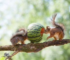 red squirrels on an branch with watermelon (Geert Weggen) Tags: agriculture animal backgrounds closeup colorimage crop cultivated cute dirt environment environmentalconservation environmentaldamage environmentalissues food freshness gardening global greenhouse growth harvesting healthyeating horizontal humor lifestyles mammal nature newlife nopeople organic outdoors photography planetspace planetearth plant pollution red rodent seed socialissues springtime squirrel summer vegetable garden watermelon tree branch square geert weggen jämtland bispgården sweden ragunda