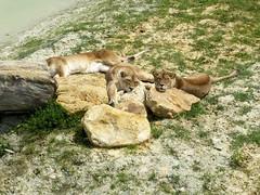 Lionnes d'Afrique de l'Est (Raymonde Contensous) Tags: parcdesfélins lumignyneslesormeaux seineetmarne iledefrance lions lionnes animaux nature félins