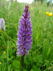 Common spotted orchid, Dactylorhiza fuchsii (Kniphofia) Tags: orchid meadow dactylorhizafuchsii commonspotted pink