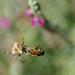 Spider predating Apis mellifera