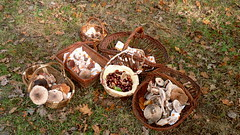 Chataignes et champignons (Matrok) Tags: automne îledefrance france forest forêt forêtdeferrières forêtrégionaledeferrières champignon champignons mushroom mushrooms