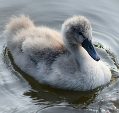 All in grey (Sandyslifethroughalens) Tags: cygnet babyswan wildlifephotography wildlife wildandfree nature naturephotography amateurphotography getoutdoors riversevern worcester britishbirds birdphotography birders river