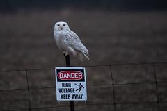 Danger High Voltage! Keep Away (NicoleW0000) Tags: owl snowyowl bird birdofprey wild wildlife fence sign rain weather danger ontario