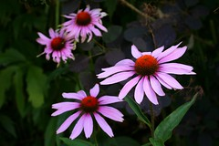 the future isn't always tempting (HansHolt) Tags: echinaceapurpurea purpleconeflower rodezonnehoed zonnehoed flower bloem purple paars petals bloemblaadjes orange hood oranje hoed decay wilted bokeh dof macro canon 6d 100mm canoneos6d canonef100mmf28macrousm