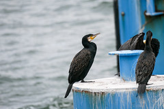 Kormoran 2 - Seebrücke Sellin (Corno3) Tags: seebrücke ostsee vogel rügen kormoran sommer sellin mecklenburgvorpommern deutschland de