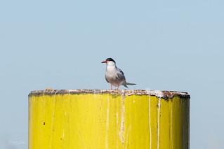 Big pole versus Small  common tern