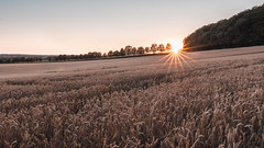 Summer Sunset (stevepe81) Tags: 2018 sigma16mm14 kornfeld landschaft nature sonnenuntergang münsterland outdoor natur baumberge landscape alpha sunsetporn stevertal sunset nrw sony lightroom münster sonyalpha6300 havixbeck