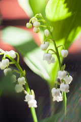 Sun beams 2 (daniel.lih.photography) Tags: seattle spring flower bulb springbulb plant plants freelensing freelens bloom 2018 garden gardening canonbody nikonlens winterbulb whiteflower lilyofthevalley lily valley convallariamajalis convallaria majalis closeup springflower sun sunlit