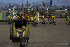 29/52 - dog days of summer (yookyland) Tags: 52weeksfordogs 2018 misty 2952 dog dogstroller seattle skyline cityscape yellow bicycles bikeshare