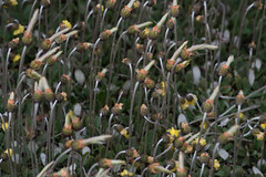 DSC_8510.jpg (rajsaday2) Tags: icefieldsparkway nearathabascaglacier weeds