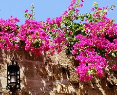11 (UlvargHS) Tags: blumen blüten laterne 11 mauer stein alt rhodos griechenland urlaub reisen altstadt ulvarg sony 35mm