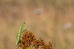 mante religieuse (heiserge) Tags: france prayingmantis macro lorrymardigny nature insectes moselle europe mantereligieuse lorraine macrophotographie animal animaux