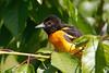 BaltimoreOriole_53F0431 (~ Michaela Sagatova ~) Tags: oriole baltimoreoriole michaelasagatova dundasvalley birdphotography