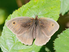 meadow brown (Bill Kirby1) Tags: warnham lnr horsham west sussex invertebrate insect butterfly