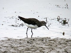 Green Sandpiper (Hem6ix) Tags: animal canon cameraphone nature camera water sand bird birdfood birdfeeders birds birdsnest beach beak birdseed cliff cliffs wildlife eggs feathers feather seeds fuji flight fly nikon