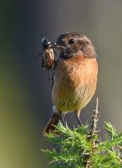 Cartaxo / Stonechat (anacm.silva) Tags: cartaxo stonechat ave bird wild wildlife nature natureza naturaleza birds aves serraafreita portugal saxicolatorquatus