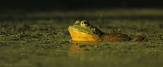 it's a frog's life (don.white55 That's wild...) Tags: americanbullfroglithobatescatesbeianus thatswildnaturephotography donwhite canoneos70d tamronsp150600mmf563divcusda011 tamron150600mm animal amphibian frog frogeyes green duckweed lowanglelight morninglight sunkissed nature wildlife wildwoodlake wildwoodpark bullfrog habitat harrisburgpennsylvania dauphincounty swamp bog marsh outdoors oldpennsylvaniacanal ngc coth5 fabuleuse