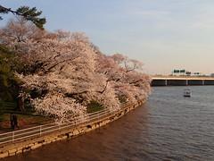P3242882 (Dr. Fieldgood) Tags: washington dc national cherry blossom festival spring flowers mall