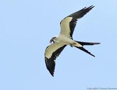Swallow-tailed Kite (N2NATURE PHOTOGRAPHY) Tags: swallowtailed kite texas prey flight ganado jaycee park