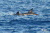 _DSC3193 (AZORES EXPERIENCES) Tags: whalewhatchingwhale dolphine turtle azores açores island sea ocean nature freedom wildintothewildsailor atlanticocean faial faialisland azoresislands spermawhale carettacaretta dephinus bluewhaletail whaletail bluewhale finwhale grampo risso rosssdolphin