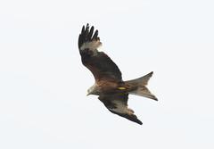 DSC_0595 (PeaTJay) Tags: nikond300s reading lowerearley berkshire outdoors nature birds birdsofprey redkite