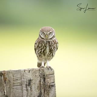 Steenuil / Little Owl - 23009