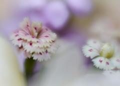 Little pinks! (judy dean) Tags: judydean 2018 birthday bouquet pinks carnations sliderssunday hss