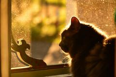 Happy Place (flashfix) Tags: 2018inphotos ottawa ontario canada nikond7100 55mm300mm kittynose fyero nebelung ragamuffin ragdoll fluffy graycat door sunlight dusk naturallighting june162018 flashfix flashfixphotography