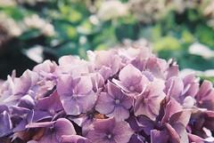 (Hsien hui Tsai) Tags: taiwan taipei film filmphotography photography flower flowers hydrangea agfa agfavista200 agfa200 hana nikon nikonem purple plant 2018