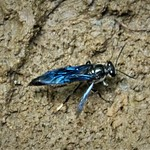 Unknown Wasp collecting mud from side of stream thumbnail