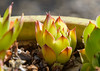Hen & Chicks (maytag97) Tags: maytag97 nikon d750 sempervivum lomo plant flower green pattern outdoor outside macro food chicks succulent hens close up nature background closeup houseleek garden crassulaceae natural cacti leaf outdoors wet botany horticulture perennial rosette evergreen henandchickens tectorum summer leaves texture healthy